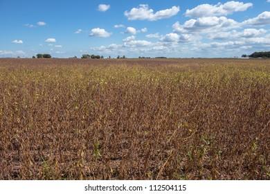 drought soybean field