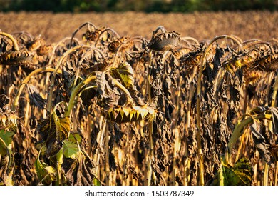 Drought Sunflower Field, dry climate destroys the harvest