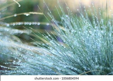 Drought Tolerant Blue Fescue Sustainable Landscaping with Morning Dew, Selective Focus