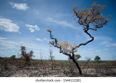 Drought-burnt tree in Jalapao National Park lands during a sunny day, in Mateiros, Tocantins State, Brazil