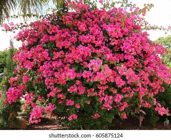 Thorn bush flowers images stock photos vectors shutterstock drought tolerant shocking pink bougainvillea bush mightylinksfo