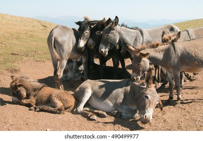 Drove of donkeys resting in the mountain farm