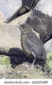 Drowsy chick waits for the feeding. Common blackbird in natural habitat /  Turdus merula.