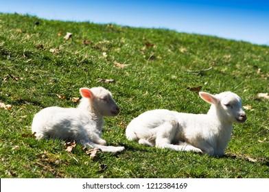 Drowsy lambs, Katahdin breed, family farm, Webster County, West Virginia, USA