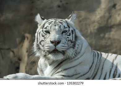 Drowsy look of the white bengal tiger, named Kali.
