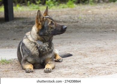Drug detection Belgian malionois is waiting for order