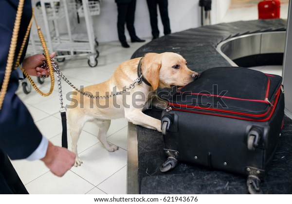 Drug detection dog at the airport searching drugs in the luggages.Horizontal view