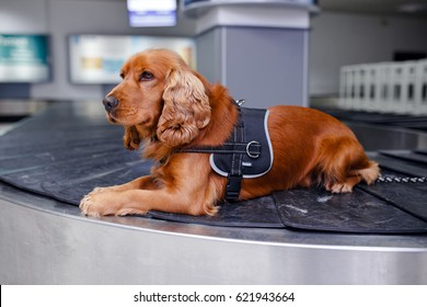 Drug detection dog at the airport.Horizontal view