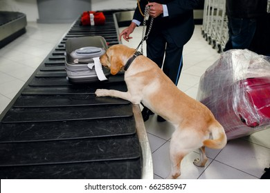 A drug detection labrador dog beside custom officer searching drugs in luggage on baggage band. Searching in airport. Horizontal view.