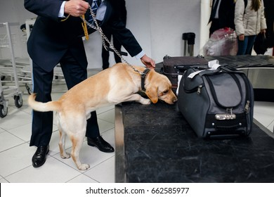 A drug detection labrador dog beside custom officer searching drugs in luggage on baggage bandat the airport. Horizontal view.