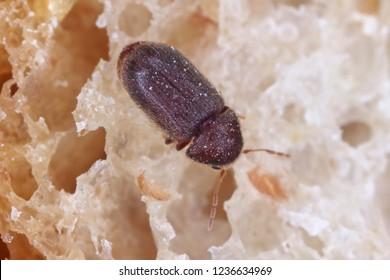 Drugstore beetle Stegobium paniceum known as bread beetle or biscuit beetle is pest in houses, stores and warehouses. Beetle on bread.