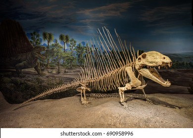 DRUMHELLER, ALBERTA, CANADA - JULY 6, 2017 : Beautifully preserved skeleton of a Dimetrodon at the Dinosaurs exhibits of the Royal Tyrrel Museum of Palaeontology in Alberta.