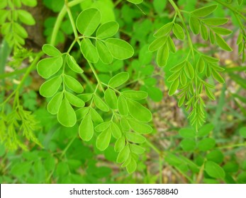 drumstick tree moringa herbal leaves Moringa oleifera