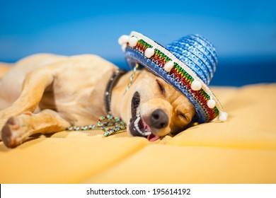 drunk chihuahua dog having a siesta