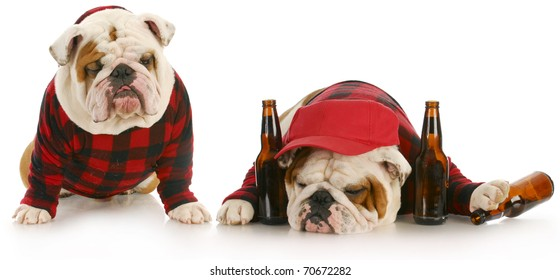 drunk dogs - two english bulldogs that have partied too hard