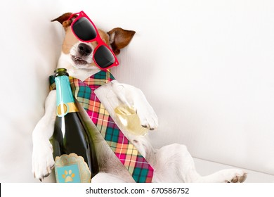 drunk jack russell terrier dog resting  or sleeping hangover with headache, with bottle and glass , wearing sunglasses and tie