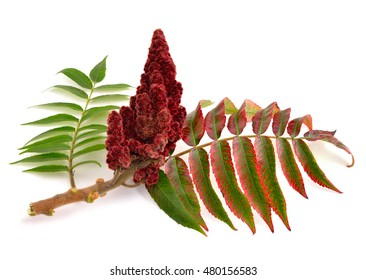 Drupes of a staghorn sumac isolated on white background.
