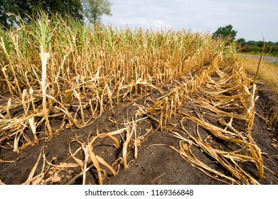 Dry and almost dead maize at the end of a very dry summer in the Netherlands