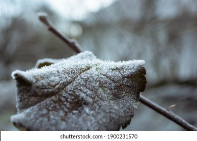 Dry apple-tree leaf in the garden covered with hoarfrost. Frosty morning.
