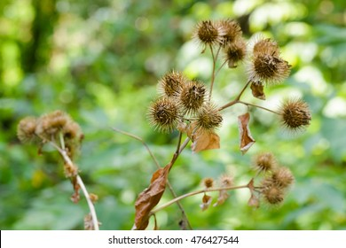 Dry arctium lappa, commonly called greater burdock, gobo, edible burdock, lappa, beggar's buttons, thorny burr, or happy major is a Eurasian species of plants in the sunflower family