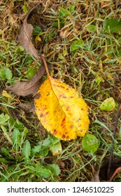 Dry autumn leaf lying on the grass