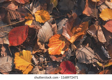Dry autumn leaves in red, orange and brown colors. Close-up. Background