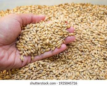 Dry barley grain malt ingredient in cooking and beverage production. Process of making craft beer from malt. Concept of alcoholic beverage homemade.