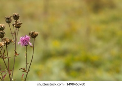 dry and blooming burdock on defocus background