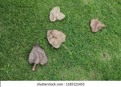 Dry bo leaves on green grass.