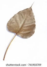 Dry bodhi leaves on white background, Bodhi leaves symbolize the sacred faith of Buddhism.