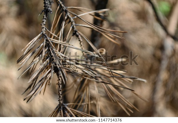 Dry branch of pine. Tree in autumn