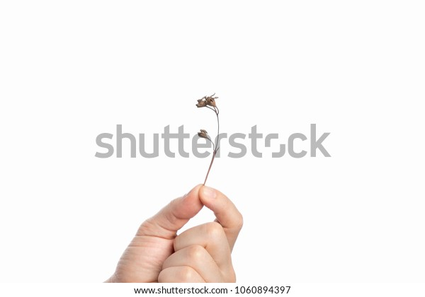 Dry branch of a plant in a male hand on a white background, isolate. Close-up. Copy the space.