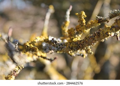 Dry branch with yellow lichen