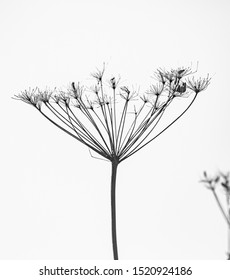 Dry branches of hogweed, on a white background.