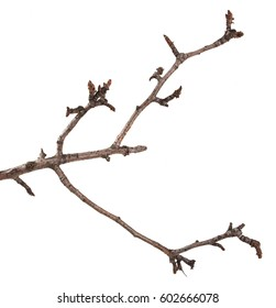 Dry branches of a pear tree isolated on a white background
