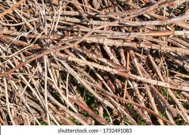 Dry branches of raspberries. Chaotic disposition. Concept of pruning plants in garden.