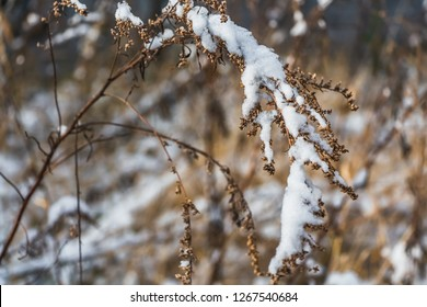 The dry brown branches of sagebrush with snow in a park in winter
