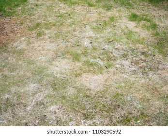 Dry brown grass on lawn at hot summer