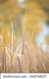Dry brown grass reed autumn color
