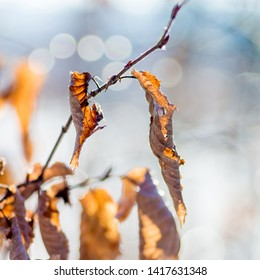 Dry brown leaves of hornbeam on a light background in sunny weather