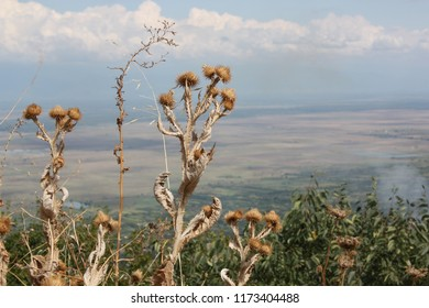 Dry burdock against the background of the Alazani Valley, Kakheti region. Sunny day, clouds against a blue sky.