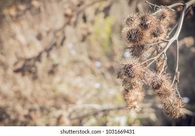Dry burdock. Autumn rustic field