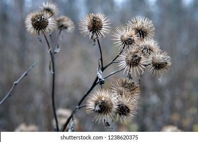 Dry burdock flowers in late autumn close up photo