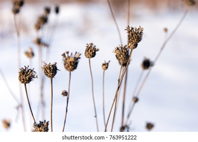 Dry burdock on a winter day