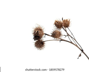 Dry burdock, thistle isolated on white background with clipping path