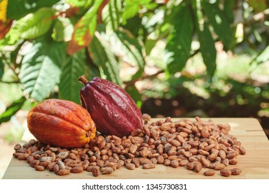 Dry cacao beans on table with pods in tree background
