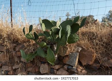 Cactus secos en un pueblo andaluz del sur de España