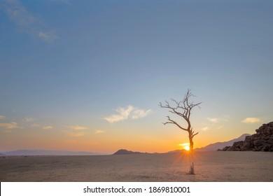 Dry camel thorn tree in barren desert