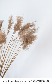 Dry Cane Reeds close up against a white wall, home interior