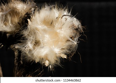 Dry Cardoon Flower in Black Background. Space for copy.